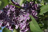 More Lilacs