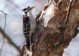 Downy Woodpecker in West Virginia