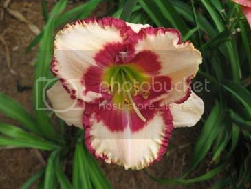 http://i432.photobucket.com/albums/qq44/jwilli290purple/Daylily.jpg