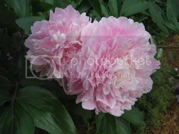 http://i432.photobucket.com/albums/qq44/jwilli290purple/Peony.jpg